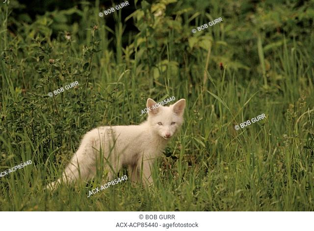Red Fox (Vulpes vulpes) Kit (Albino). Complete albinism in red foxes is rare. Central Ontario, Canada