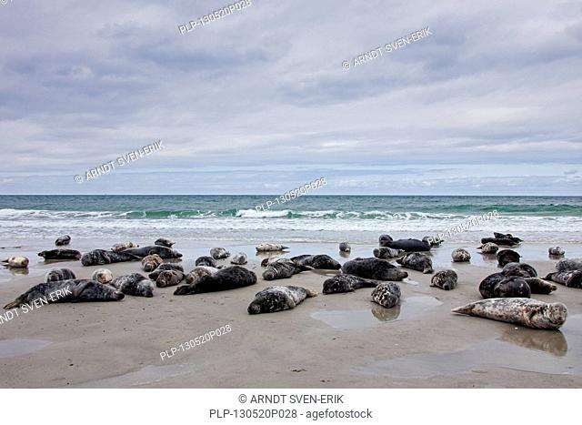 Grey seals / gray seal (Halichoerus grypus) colony resting on beach