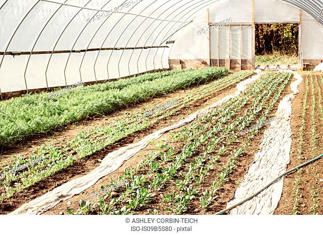 Vegetables growing in farm greenhouse