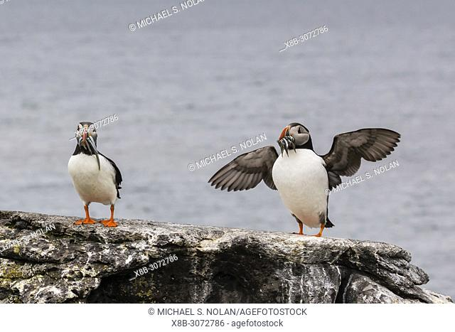 Adult Atlantic puffins, Fratercula arctica with small fish, Vigur Island, off the west coast of Iceland