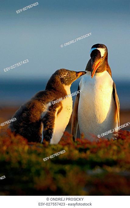 Feeding scene. Young gentoo penguin beging food beside adult gen