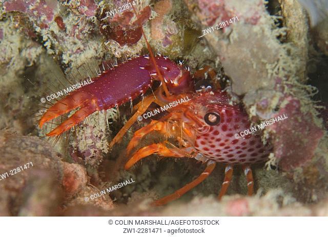 Debelius Reef Lobster (Enoplometopus debelius) in hole, Night dive, Wainilu dive site, Rinca Island, Komodo National Park, Indonesia
