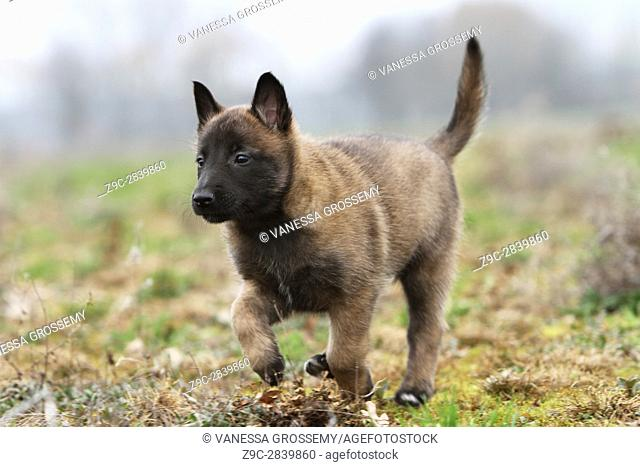 Dog Belgian shepherd Malinois puppy Moving in the meadow