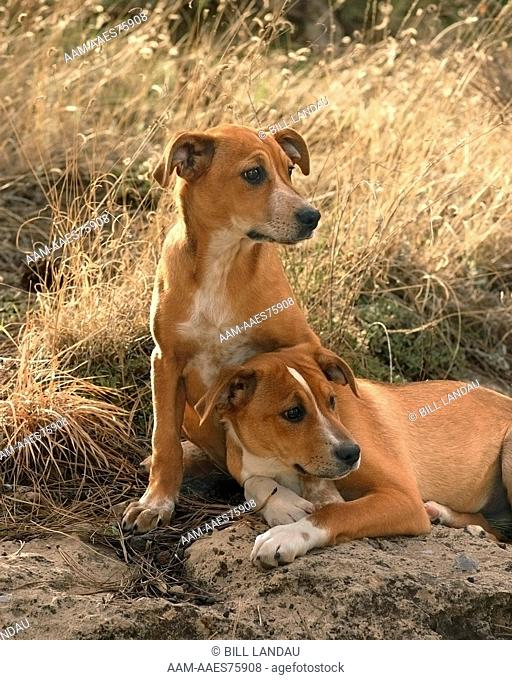 Two mixed breed dogs sit in a field of tall grass in Flagstaff, Arizona. 2007