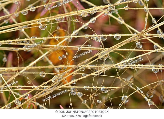 Hairgrass grass stalks with rain drops, Greater Sudbury, Ontario, Canada