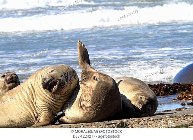 Southern Elephant Seal Punta delgada  Valdes Peninsula   Province of Chubut  Argentina  Mirounga leonina  Order : Carnivora  Family : Phocidae