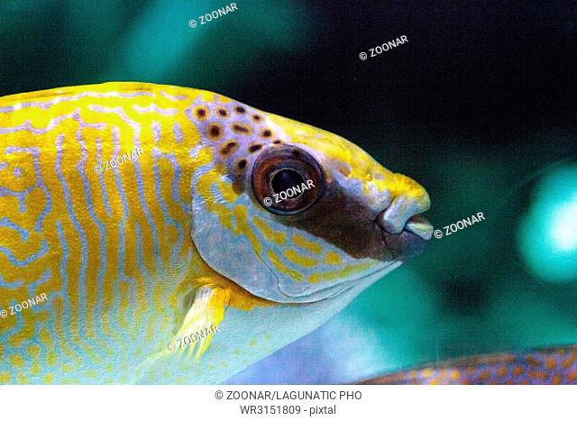 Masked Rabbitfish Siganus puellus