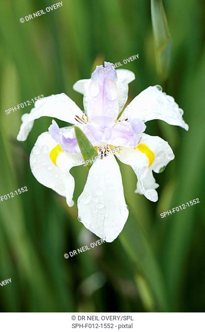 Large wild iris, Cape Town