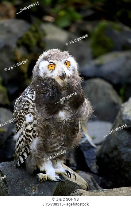Snowy Owl, (Nyctea scandiaca), young bird, Scandinavia, Europe