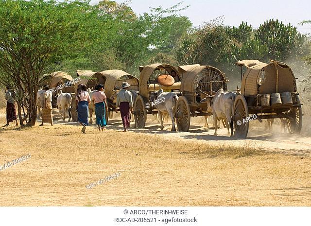 Oxwagons, Bagan, Burma, Pagan, Zebu Cattle
