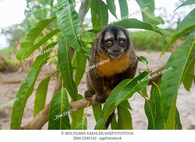 Portrait of a Night owl monkey along the Maranon River in the Peruvian Amazon River basin near Iquitos
