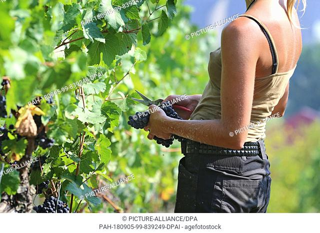05 September 2018, Germany, Frickenhausen: A young woman harvests red grapes of the Dornfelder grape variety in a vineyard