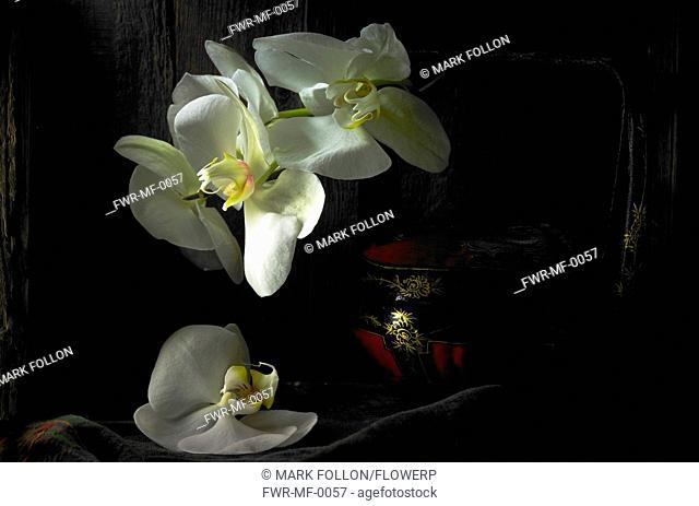 Phalaenopsis amabilis, Orchid, Moth orchid, White subject, Black background