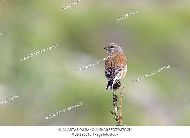 Common Linnet - Linaria cannabina, Greece