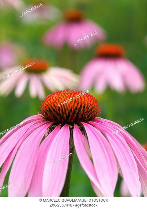 Purple coneflowers (Echinacea angustifolia). Pisón de Fondón organic farmhouse. Villandás village. Grado council. Asturias autonomous community. Spain
