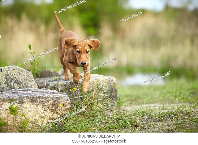Golden Retriever. Puppy jumping from a rock. Germany