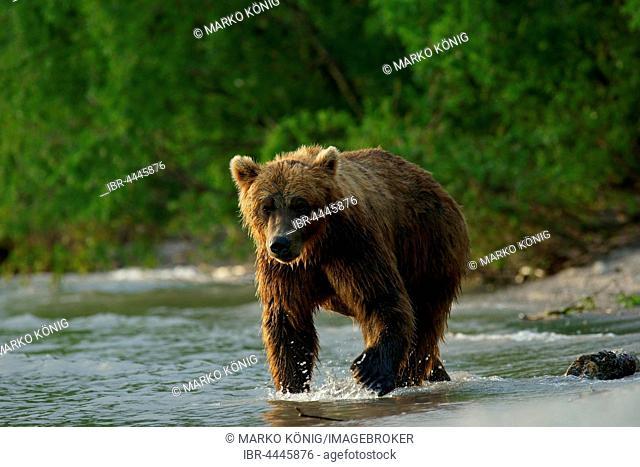 Brown bear (Ursus arctos), Kurile Lake, Kamchatka, Russia