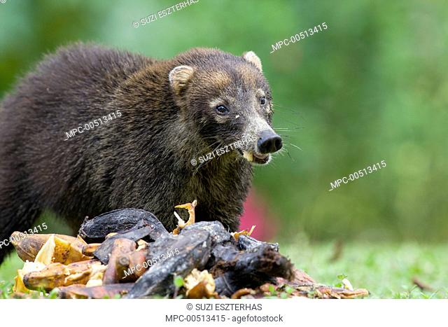 Coatimundi (Nasua nasua) feeding on bananas, northern Costa Rica