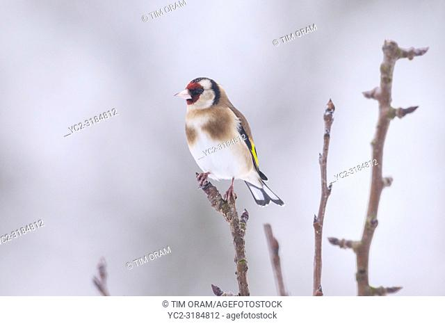 A Goldfinch (Carduelis carduelis) in freezing conditions in a Norfolk garden