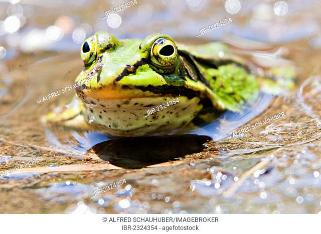 Green frog (Pelophylax esculentus), Schrems upland moor nature park, Waldviertel, Forest Quarter, Lower Austria, Austria, Europe