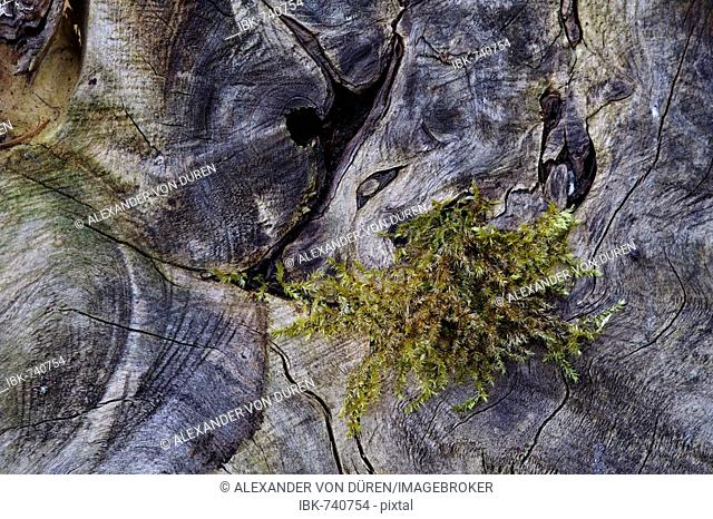 Moss growing between the structures in old wood, Lueerwald Forest Nature Reserve, Sauerland, North Rhine-Westphalia, Germany, Europe