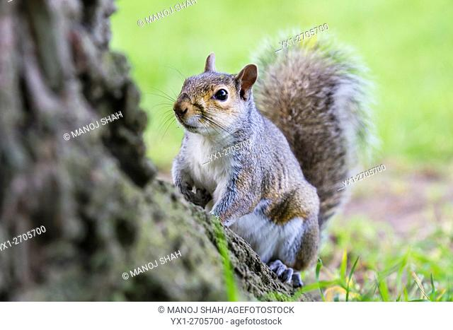 Squirrel under a tree in a London Park, UK