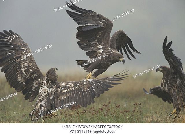 White-tailed Eagles / Sea Eagles (Haliaeetus albicilla), immature, subadult, in fight, fighting, hazy morning, wetland, Europe