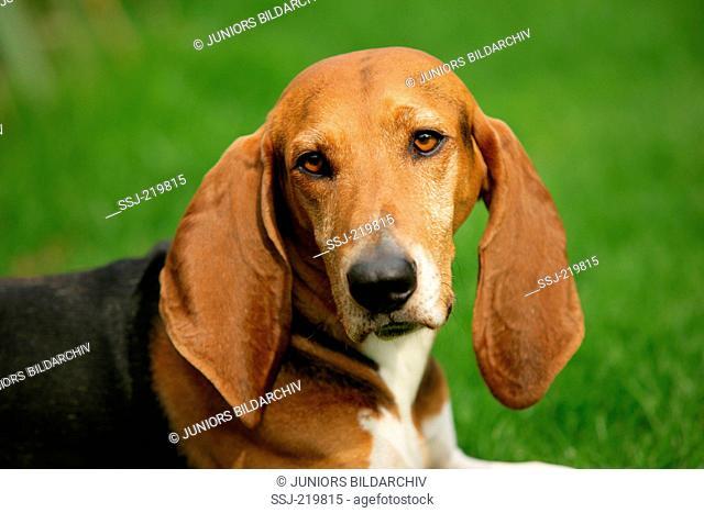 Basset artesien normand. Portrait of adult dog. Germany