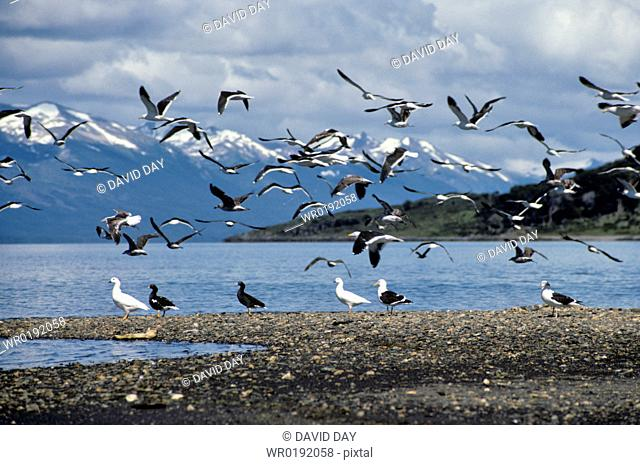 Gulls taking off, leaving pairs of kelp geese beside the mountainous edged Beagle Channel Larus dominicanus and ChloÎphaga hybrida Beagle Channel, Argentina