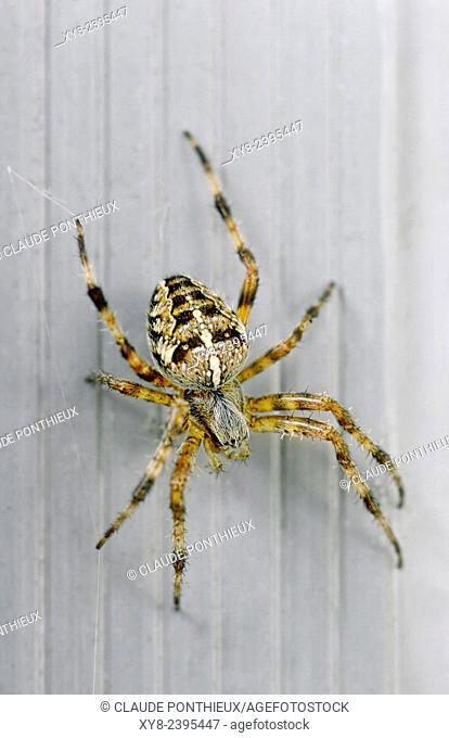 Garden spider, Sherbrooke, Quebec, Canada