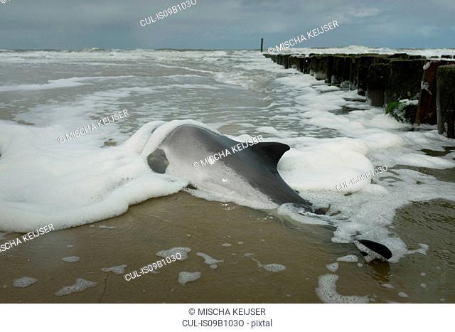 Dead porpoise lying on beach, Domburg, Zeeland, Netherlands