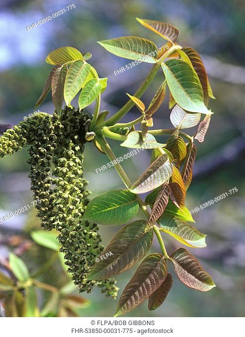 Common Walnut Juglans regia flowering