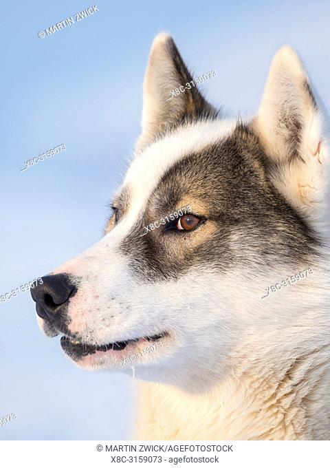 Sled dog during winter in Uummannaq in the north west of Greenland. Dog teams are still draft animals for the fishermen of the villages
