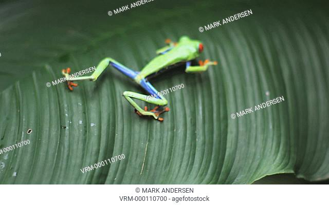 Red Eyed Tree Frog on a palm frond