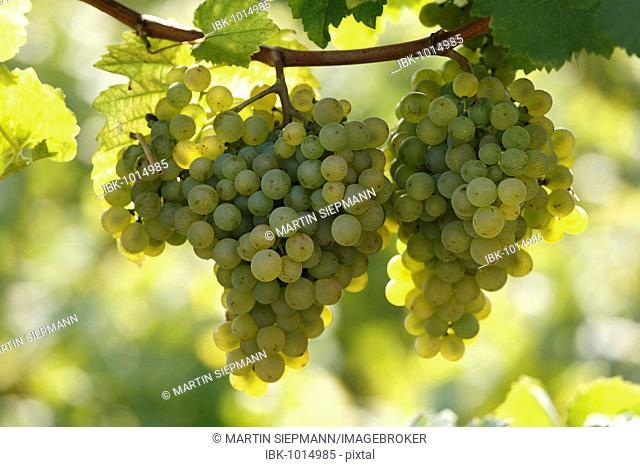 White grapes, Wachau, Lower Austria, Austria, Europe