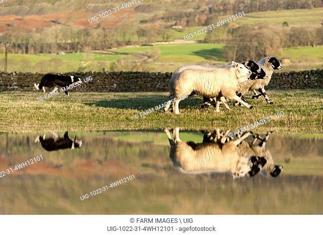 Border collie rounding up sheep following Storm Eva, near Hawes, Wensleydale, North Yorkshire. (Photo by: Wayne Hutchinson/Farm Images/UIG)