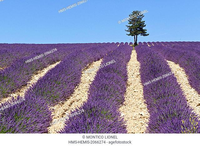 France, Vaucluse, Sault, lavender field