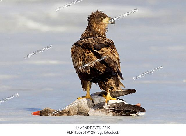 White-tailed eagle Haliaeetus albicilla juvenile with killed Greylag goose Anser anser on frozen lake in winter, Germany
