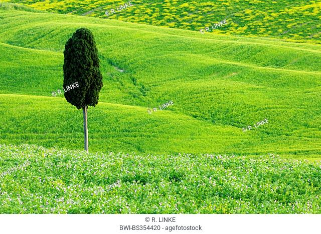 Italian cypress (Cupressus sempervirens), Green and Hilly Farmland with Cypress, Val d' Orcia, San Quirico d' Orcia, Italy, Tuscany