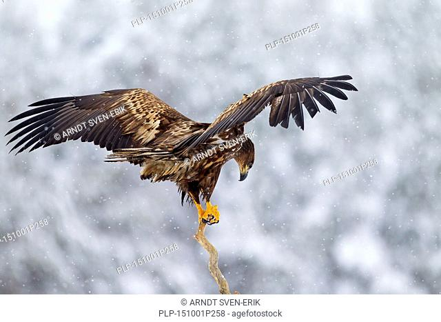 White-tailed Eagle / Sea Eagle / Erne (Haliaeetus albicilla) juvenile landing in tree in the snow in winter