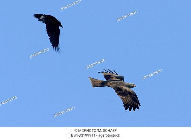 black kite, yellow-billed kite (Milvus migrans), attacked by a crow, Germany