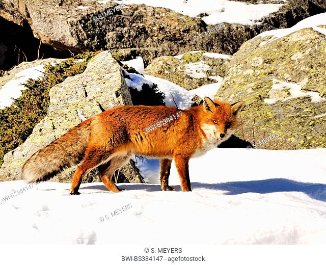 red fox (Vulpes vulpes), standing in snow in front of rocks, Italy, Val d'Aosta