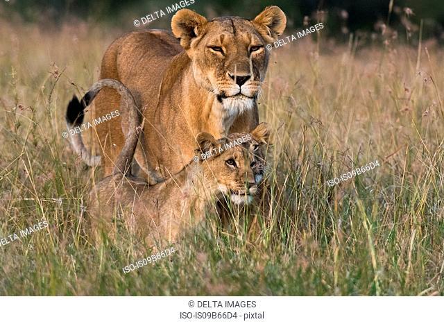 Lioness and cubs (Panthera leo),Masai Mara, Kenya, Africa
