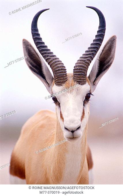 Springbok (Antidorcas marsupialis). Etosha National Park. Namibia