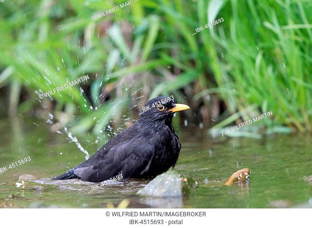 Blackbird (Turdus merula), male bathing in stream, Hesse, Germany