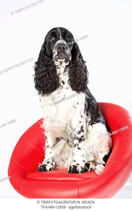 sitting English Springer Spaniel