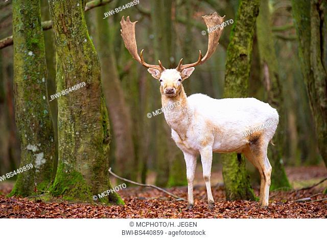 fallow deer (Dama dama, Cervus dama), white stag, Germany, Bavaria