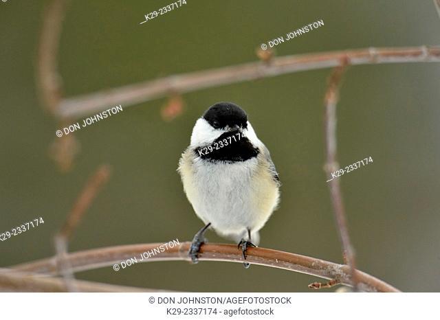 Black capped chickadee (Poecile atricapillus), Greater Sudbury (Lively), Ontario, Canada