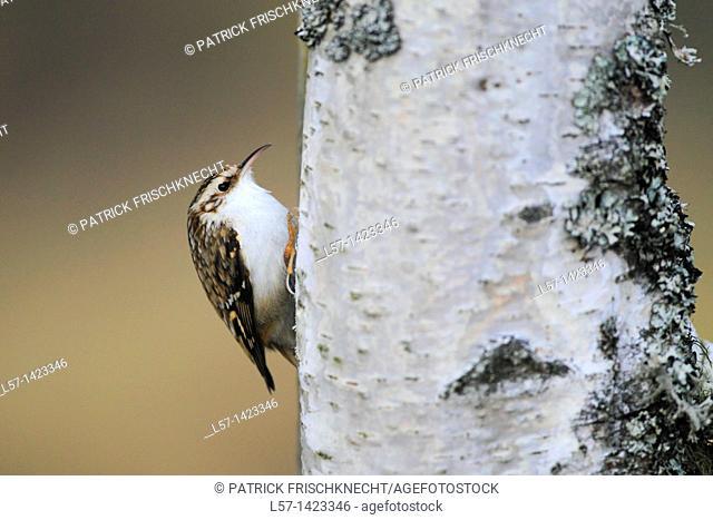 Treecreeper, Baumläufer, Baumlaeufer, Certhia, treecreeper, Short-toed Treecreeper, Common Treecreeper, Eurasian Treecreeper, Scotland