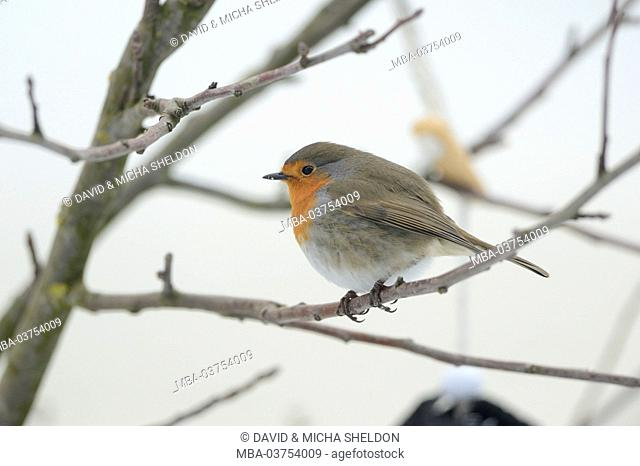 European robin, Erithacus rubecula, branch, side view, sitting